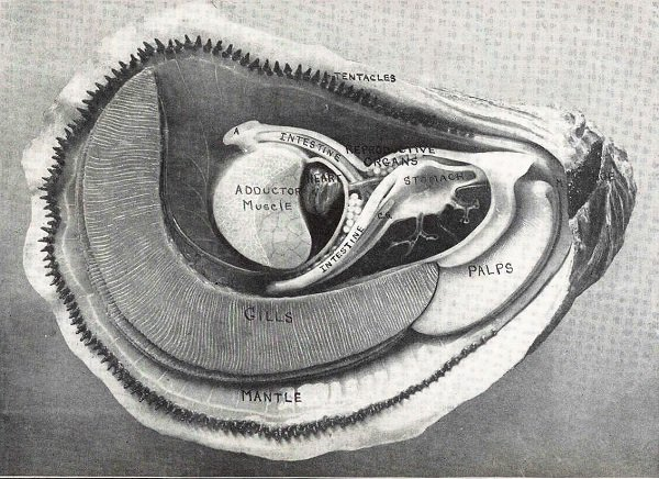 drawing explaining the anatomy of an oyster